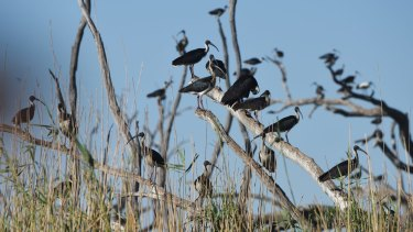 There are fears the number of birds nesting in the Macquarie Marshes will fall even further.