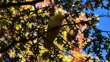 A cockatoo sits among the autumnal leaves on Leichardt Street, Blackheath as a cool change rolls in.
