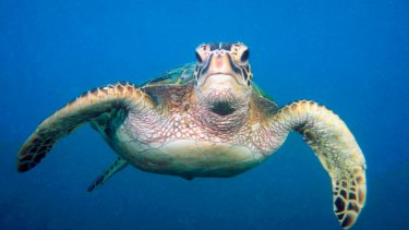 Green turtles were among those recorded in the aerial survey.