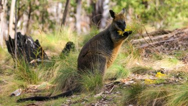 The adult swamp wallaby, similar to the one pictured here, had extensive injuries to its leg.