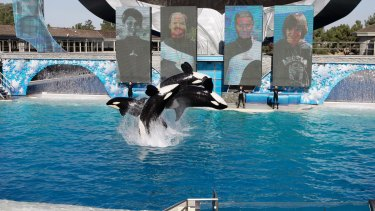 Killer whales leap out of the water while performing during SeaWorld's Shamu show in San Diego.