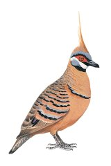 Spinifex Pigeon.
