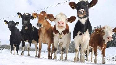 Cows tend to produce one colour of milk - that is white.
