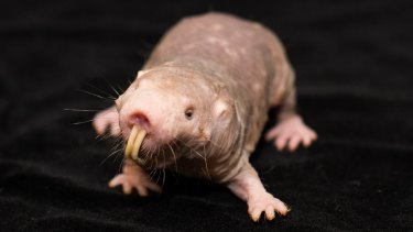 """Naked mole-rats are marvellous and bizarre mammals; they don't get tumours, they live like social insects and are """"cold-blooded"""" like frogs. And that's just for starters."""