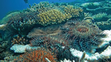 Crown-of-thorns starfish being lured to one location - for possible easier extermination.