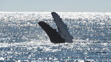 Humpback whales at play.
