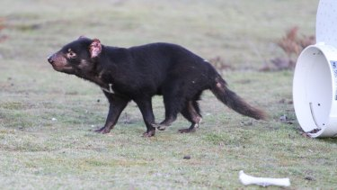 Tasmanian devils have been threatened by contagious cancer. Here, an immunised devil is released into the wild.