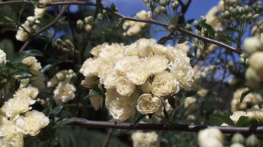 Be patient with your banksia rose– it's taken a quarter of a century for ours to climb so high.