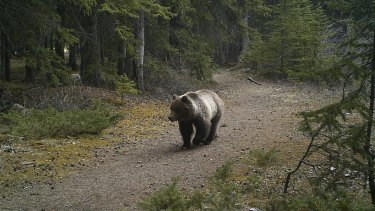 Sarah's cameras captured this grizzly in its element.