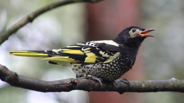 About a third of NSW's bird species, including the regent honeyeater, are endangered and offsets may not be able to halt the decline.