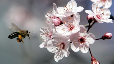 Sticky situation: Australia and New Zealand honey producers are battling over where 'genuine' manuka honey is produced.