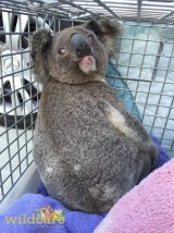 Disoriented koala Ash was found wandering a Gold Coast development site.