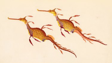 Weedy or common seadragon (Phyllopteryx taeniolatus), watercolour by Ferdinand Bauer, from his drawing of a specimen caught in King George Sound, Western Australia, December 1801.