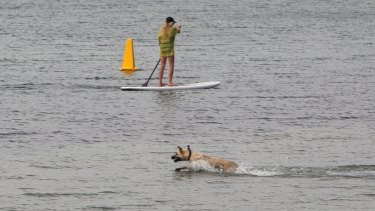 A paddle border and a dog enjoy themselves in the lake a few hours later, oblivious to the danger that the shark.might pose.