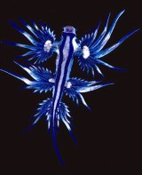 The long, slender Glaucus atlanticus is often found washed ashore after storms.