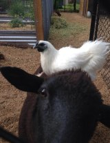 Killed: Barney the sheep with one of the chickens at 2773 in Glenbrook.