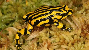 Under threat: the southern corroboree frog.