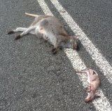 A wallaby and her joey killed on a road. Australian animals are increasingly being hit.