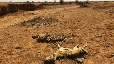 Dead goats in Somaliland lay on a dried up river bed due to starvation and a lack of water.