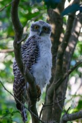 Local residents in Beecroft have kept a close watch on Mikey through the Powerful Owl Project, a bird-watching group.