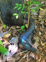 There are reports of at least six cassowaries killed between Mission and Bramston Beach this year.