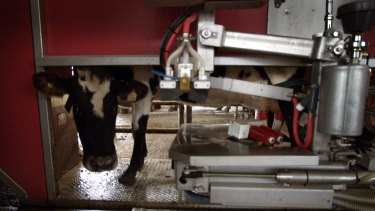 A cow in a robotic milking dairy