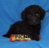 A labradoodle puppy that had been advertised for sale by the business.