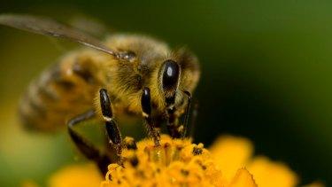 A honey bee collecting pollen.