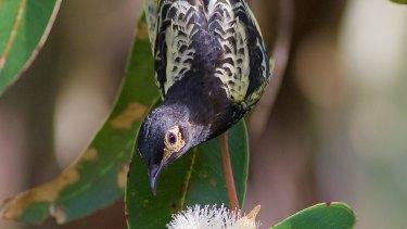 The Australian regent honeyeater is at extreme risk of extinction.