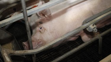 A pig in a sow stall: The industrial scale processing of pigs, chickens and cattle would appal most people if they were exposed to the process.