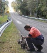 Darren Mewett retrieves the dead koala from the side of the road.