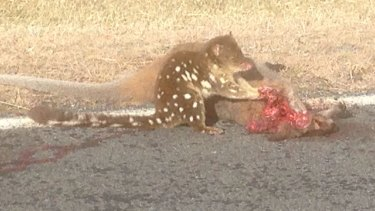 David Clark photographed this spotted quoll on Boboyan Road, Namadgi on Thursday afternoon, June 30, 2016.