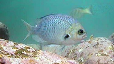 The spiny damselfish produces offspring with flexible body clocks that help adapt to ocean acidification.