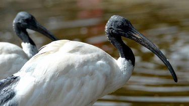 It is a serious offence to harm an ibis under State Wildlife Legislation.