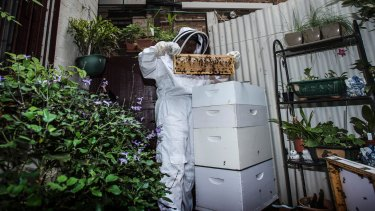 Ling Yoong houses over 10,000 Ligurian honey bees in just one hive.