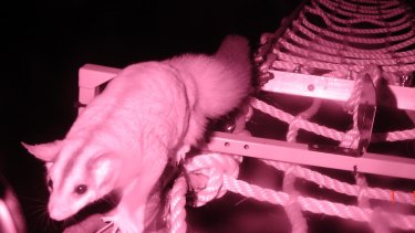 A squirrel glider crosses the wildlife bridge  over the Hume Highway near Longwood.