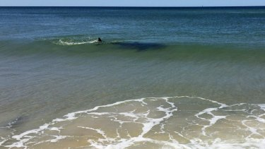 A shark spotted swimming in the shallows near Lennox Head on October 1.