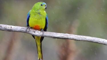 The first 10 orange-bellied parrots to arrive at their Tasmanian breeding grounds this season have been males.