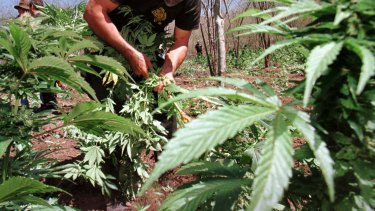 Dave, from Forrestfield branded a drug trafficker after police discovered five marijuana plants grown in his vegetable patch.