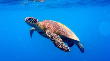 The number of turtles hooked by commercial fishers in the Eastern Tuna and Billfish Fishery has increased sharply since 2012.