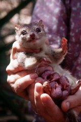 A northern quoll with young in its pouch.