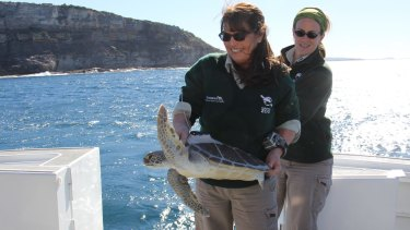 Taronga Zoo Wildlife Hospital manager Libby Hall releases a Green turtle, Nora, with a tracker on her back.