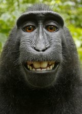 """One of the """"selfies"""" taken by a macaque monkey."""