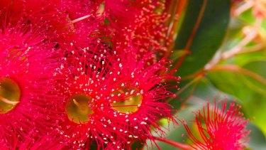 Flowering gum 'Summer Red'.