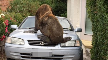 The seal climbed onto the bonnet of a car, leaving significant damage.