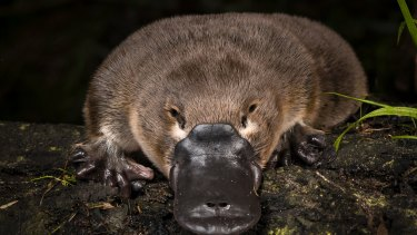 The platypus is an Australian icon but landmark research being conducted by a large team of Australian scientists indicates the animal's future is under serious threat.