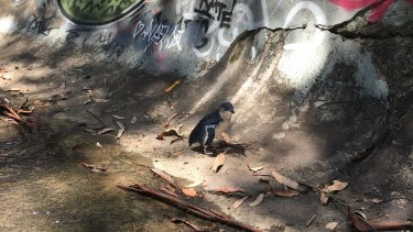 This juvenile penguin was found in a drain in Summer Hill to the surprise of Josh Pirini and Scott Martin on Thursday afternoon