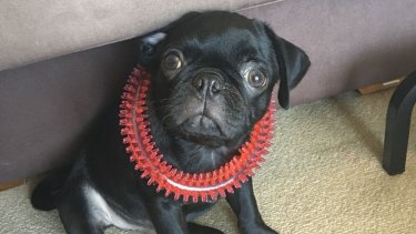 Egg, the missing pet pug dog, has died, police say