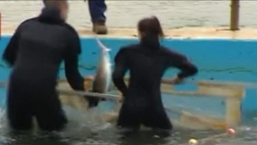 Rescuers secure the juvenile shark before releasing it into the water.