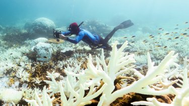 Dead calm: John Rumney from Great Barrier Reef Legacy looking at bleaching corals off Port Douglas this week.